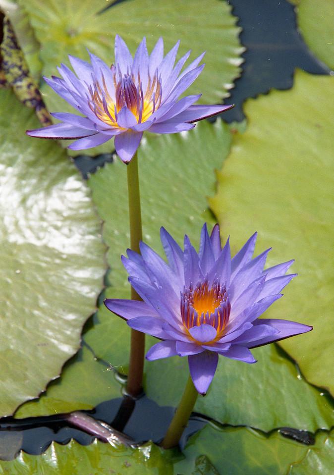 20090110_d_02 water lilies