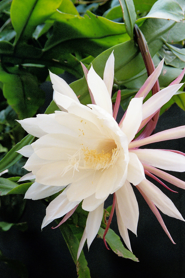 20090110_a_01 epiphyllum
