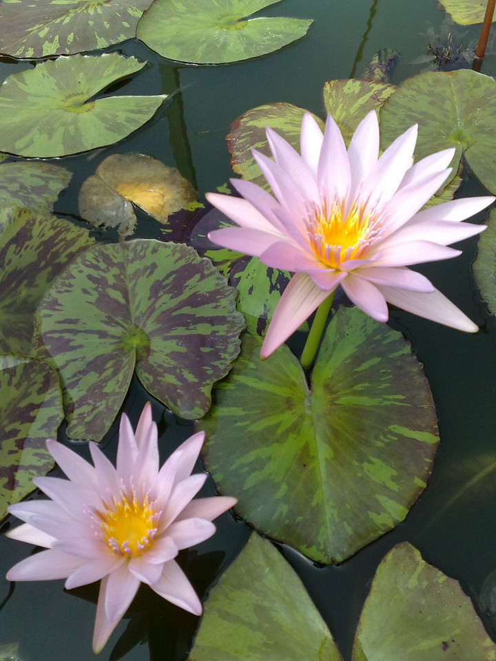 20090110_286 waterlilies at the Blue Lotus Water Garden