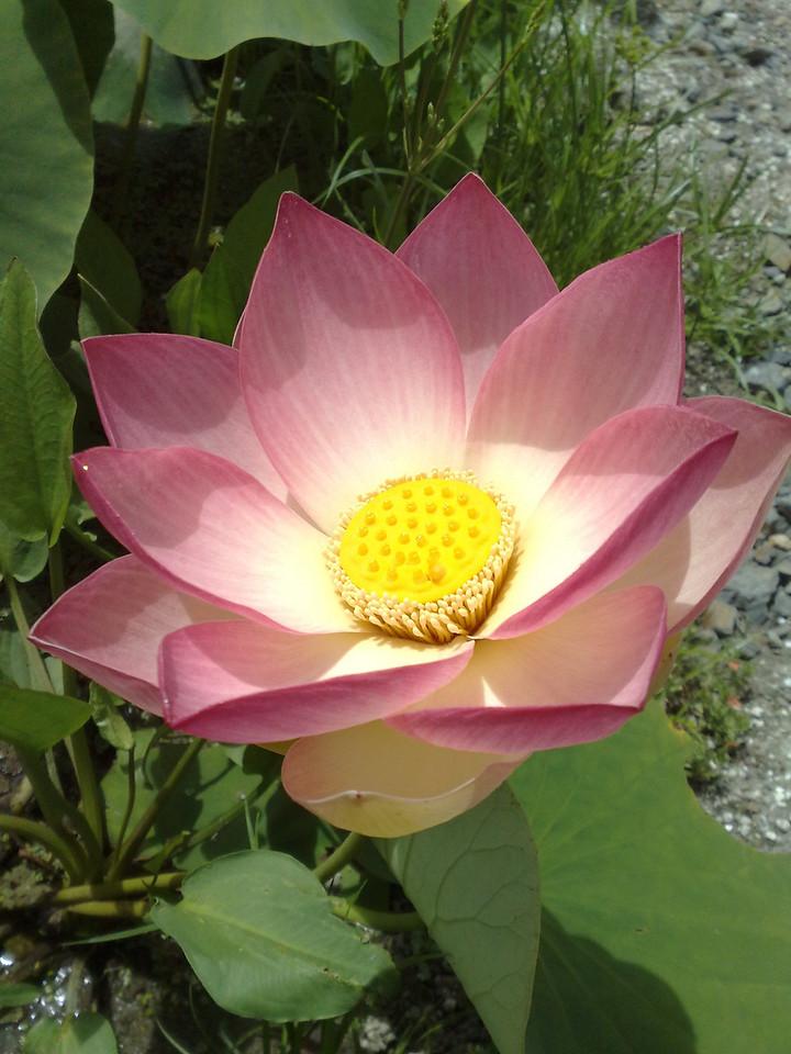 20090110_298 lotus. Blue Lotus Water Garden