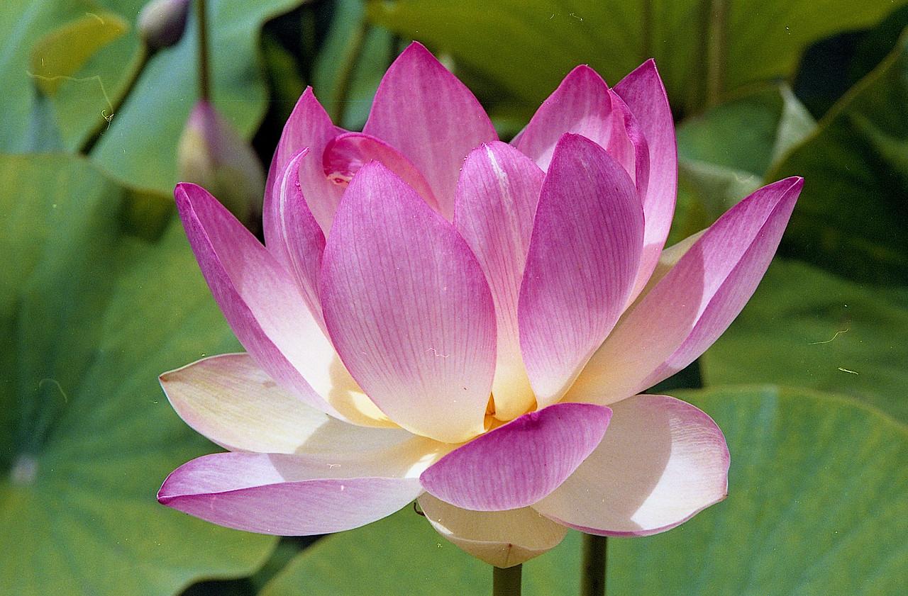 20090110_b_23 lotus