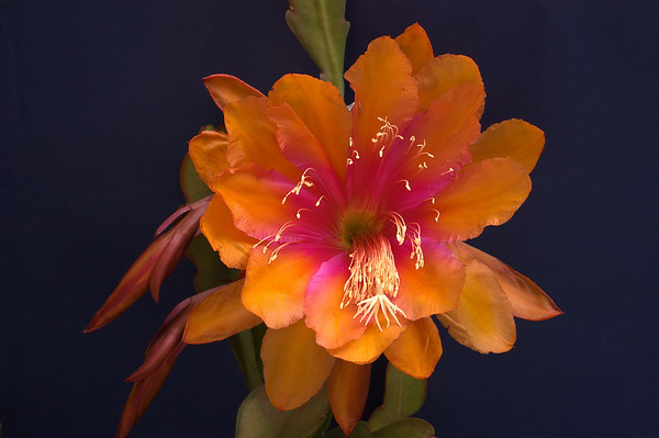 20081108_2081 epiphyllum cactus 'Bold Venture'