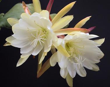 20081116_2110 epiphyllum
