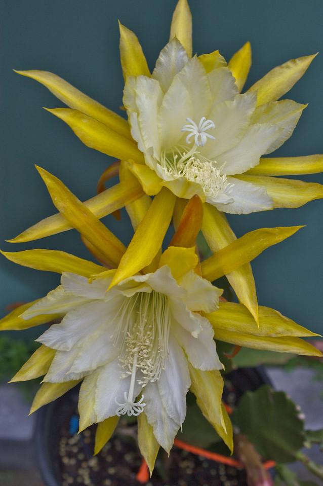 20081109_2142 epiphyllum