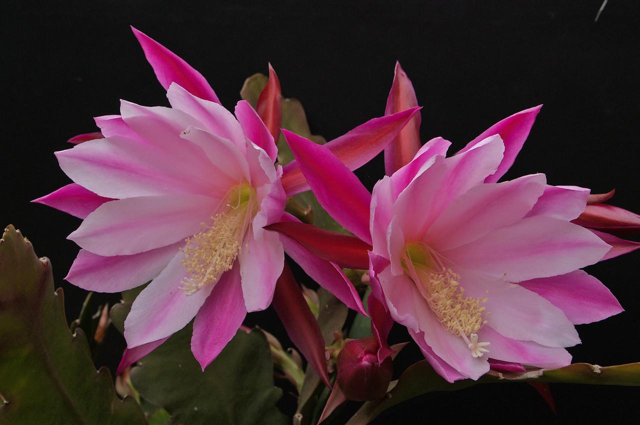 20081026_2053 epiphyllum