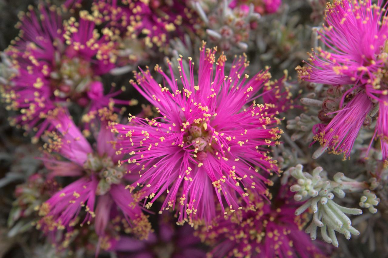 20081230_2345 Native flower at the Cranbourne Botanical Gardens.