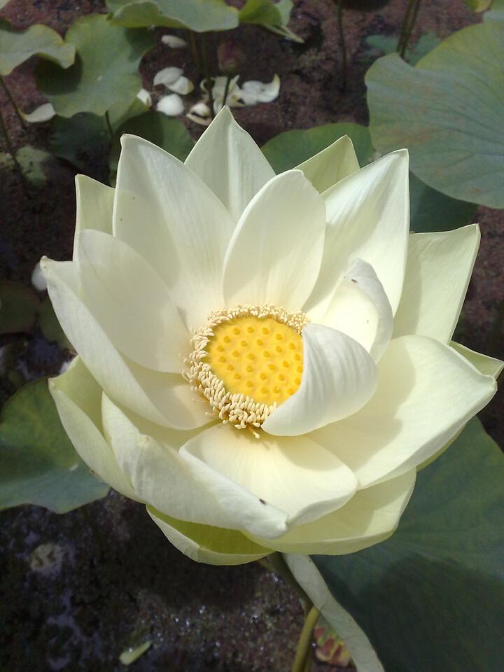 20090110_291 lotus at the Blue Lotus Water Garden