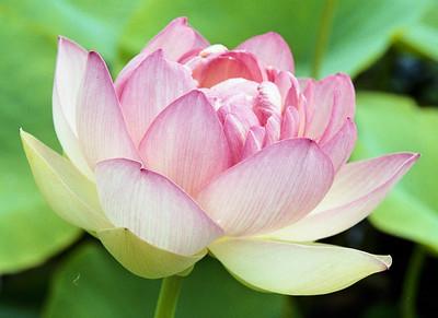 20090110_d_18 lotus