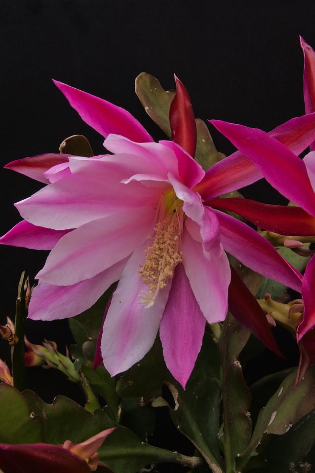 20081026_2060 epiphyllum
