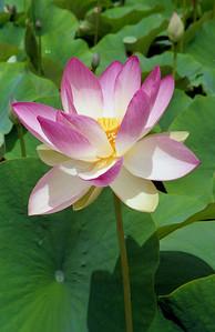 20090110_c_04 lotus
