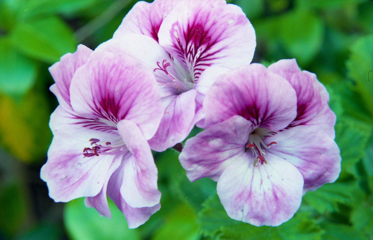 20090108_1_14 geranium