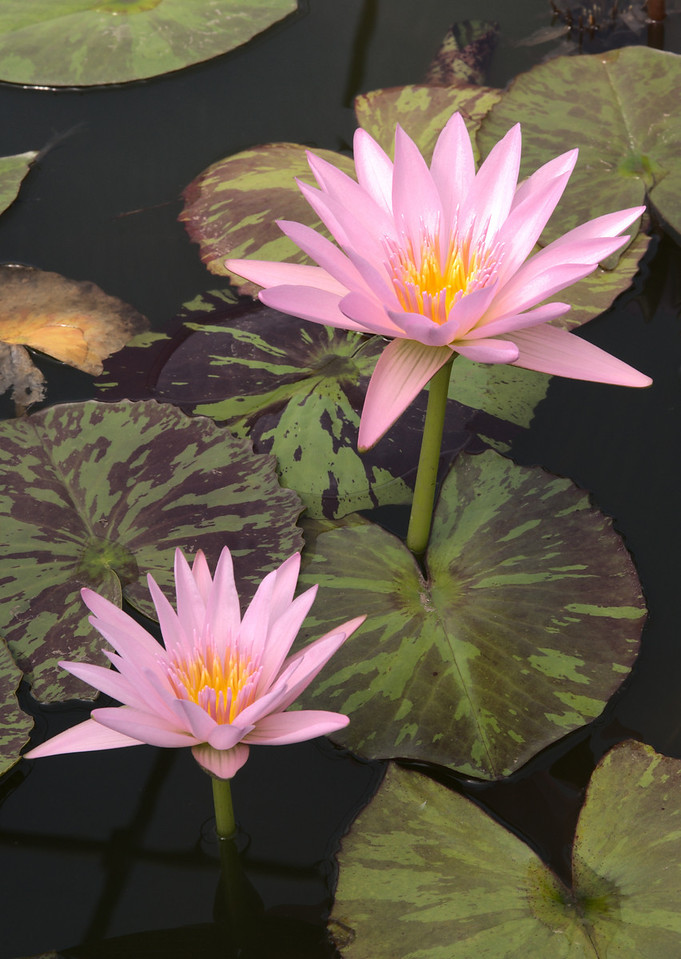 20090110_2387 water lily