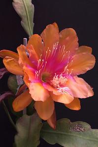 20081109_2101 Epiphyllum
