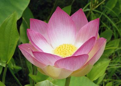 20090110_b_21 lotus