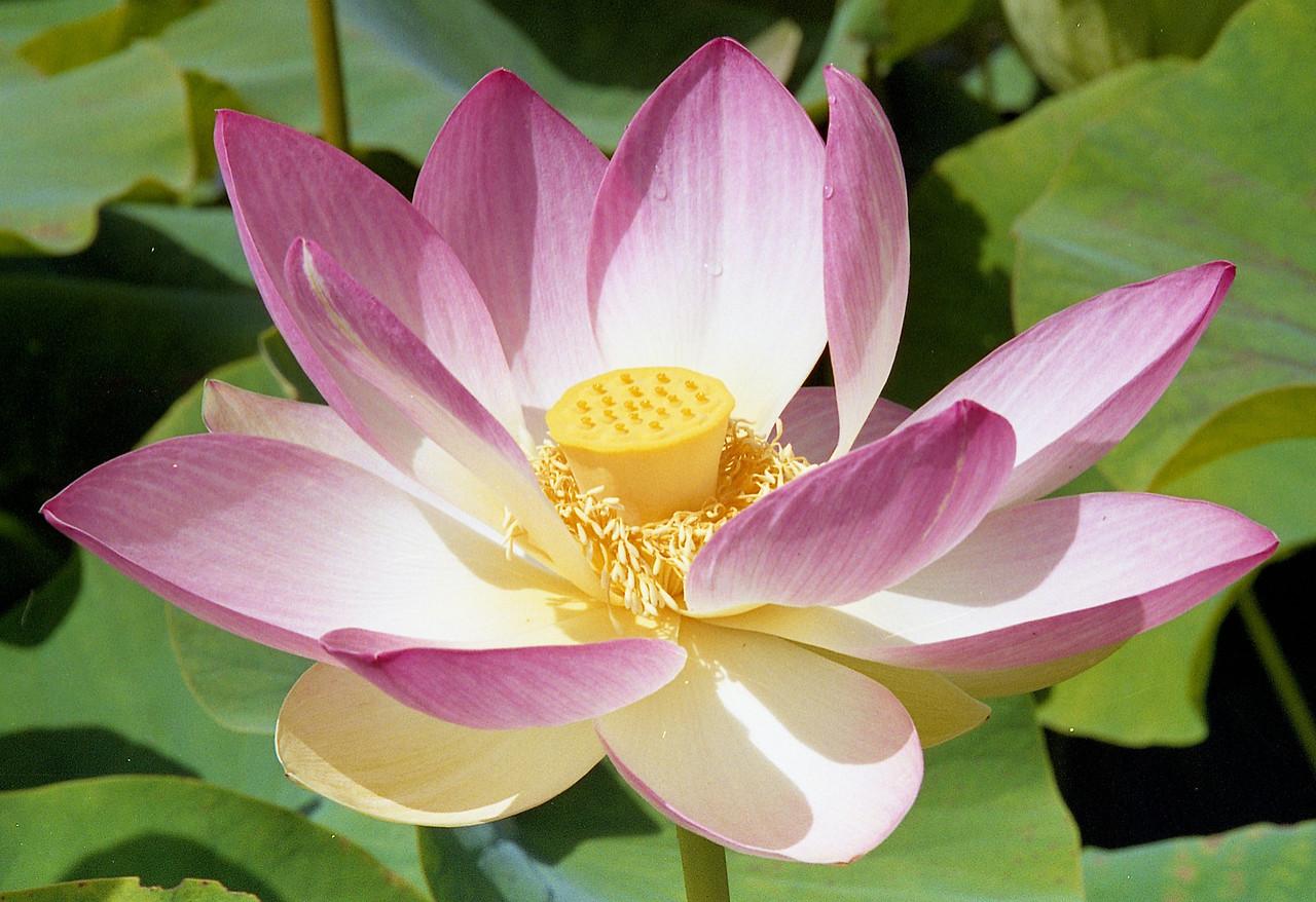 20090110_d_15 lotus