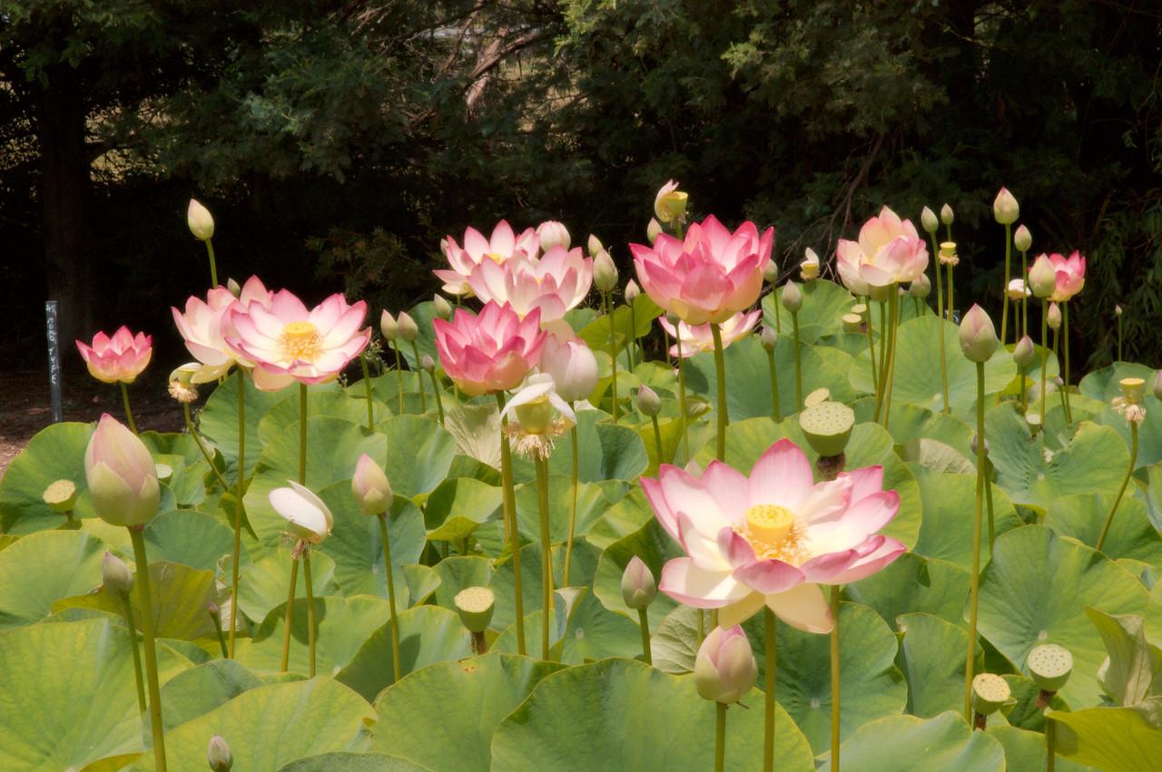 20090110_2431 lotus