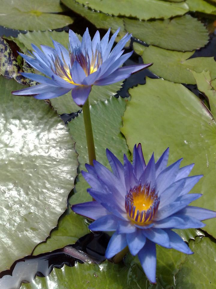 20090110_305 waterlilies at the Blue Lotus Water Garden.
