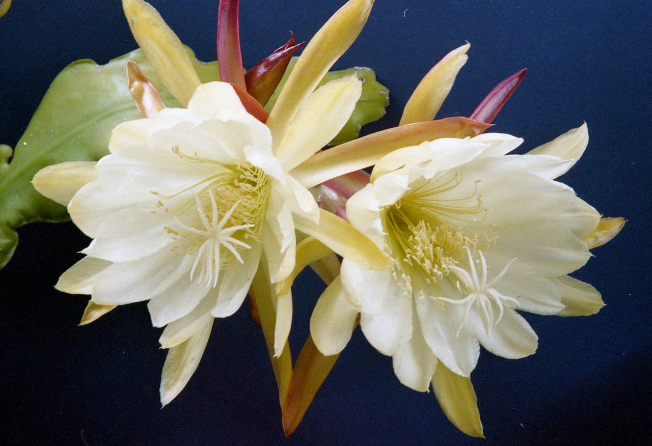 20081128_19 epiphyllum Photograph taken by Stephen Fong with Sigma SA-300N 35mm