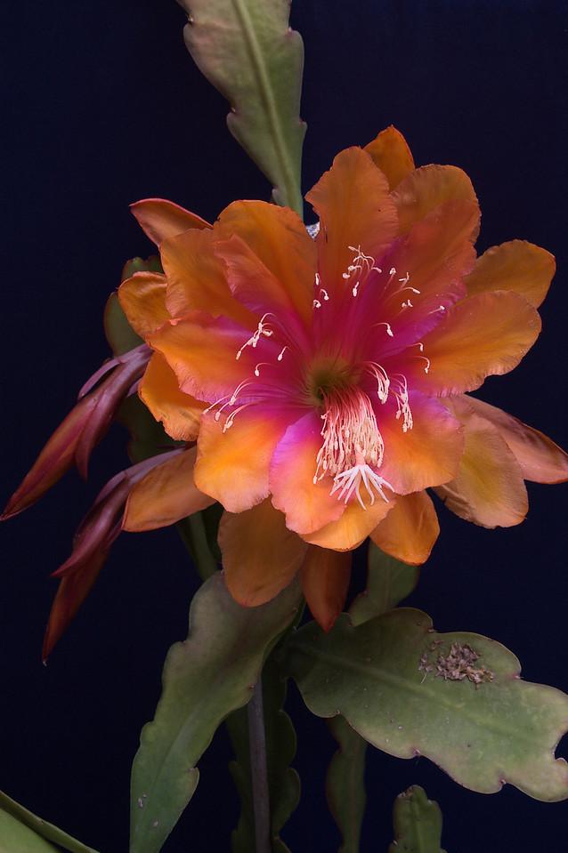 20081108_2082 epiphyllum