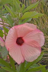 20081230_2369 hibiscus, RBG Cranbourne