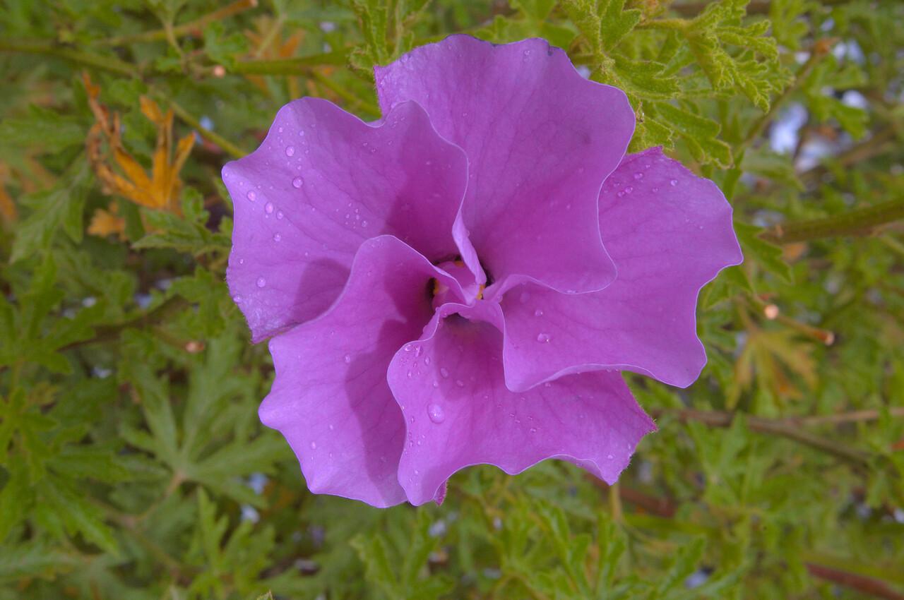20081230_2370 hibiscus, RBG Cranbourne