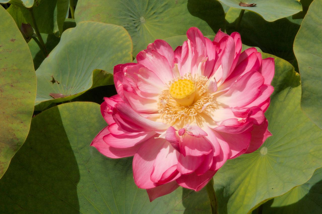 20090110_2433 lotus