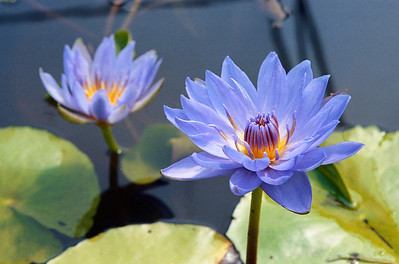 20090110_d_23 water lilies at Blue Lotus Water Garden