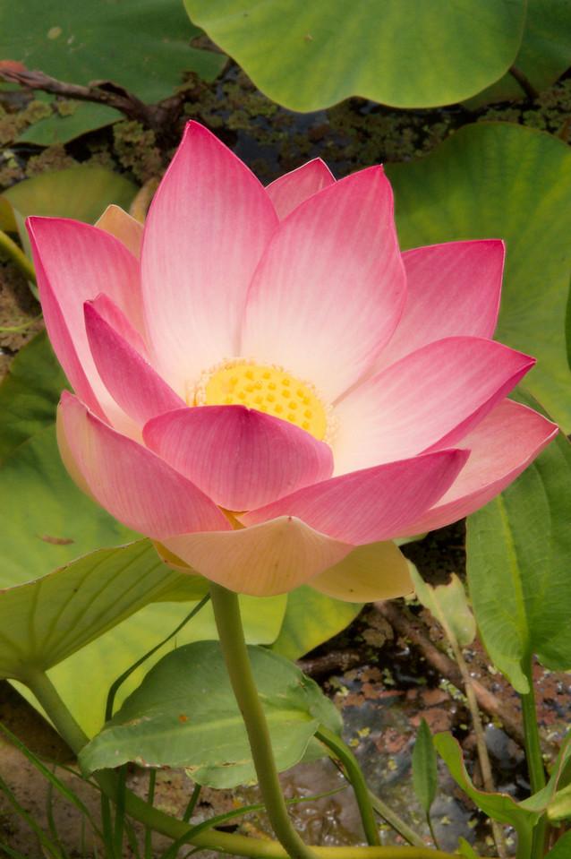 20090110_2426 lotus