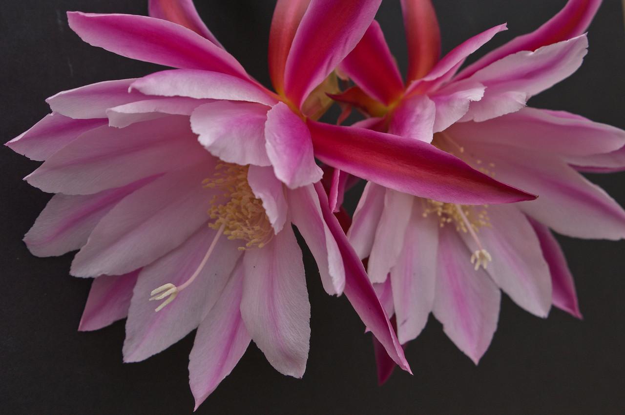 20081024_2042 epiphyllum