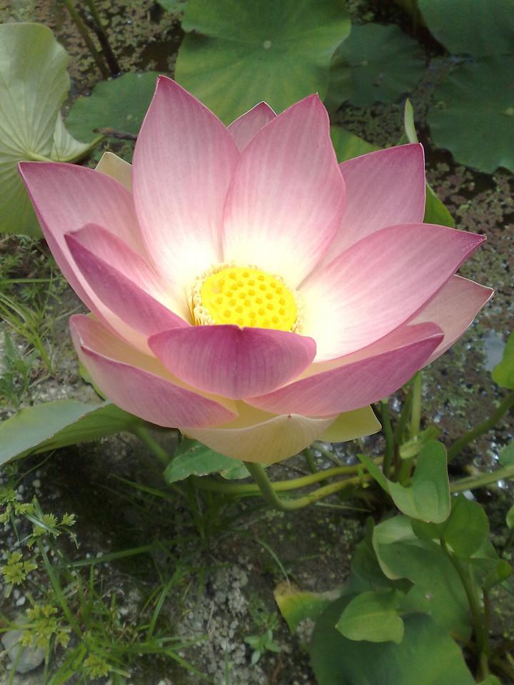 20090110_295 lotus at the Blue Lotus Water Garden