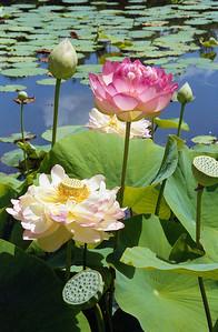 20090110_d_08 lotus (Blue Lotus Water Gardens)