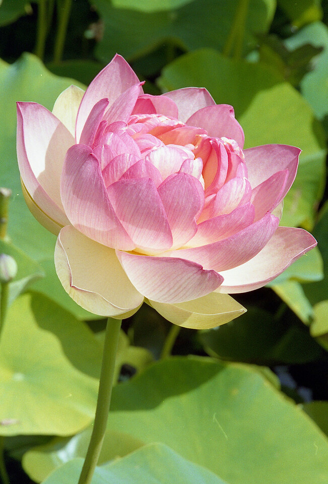 20090110_d_19 lotus