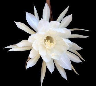 20090126_0809_2532 epiphyllum (MMS size...)