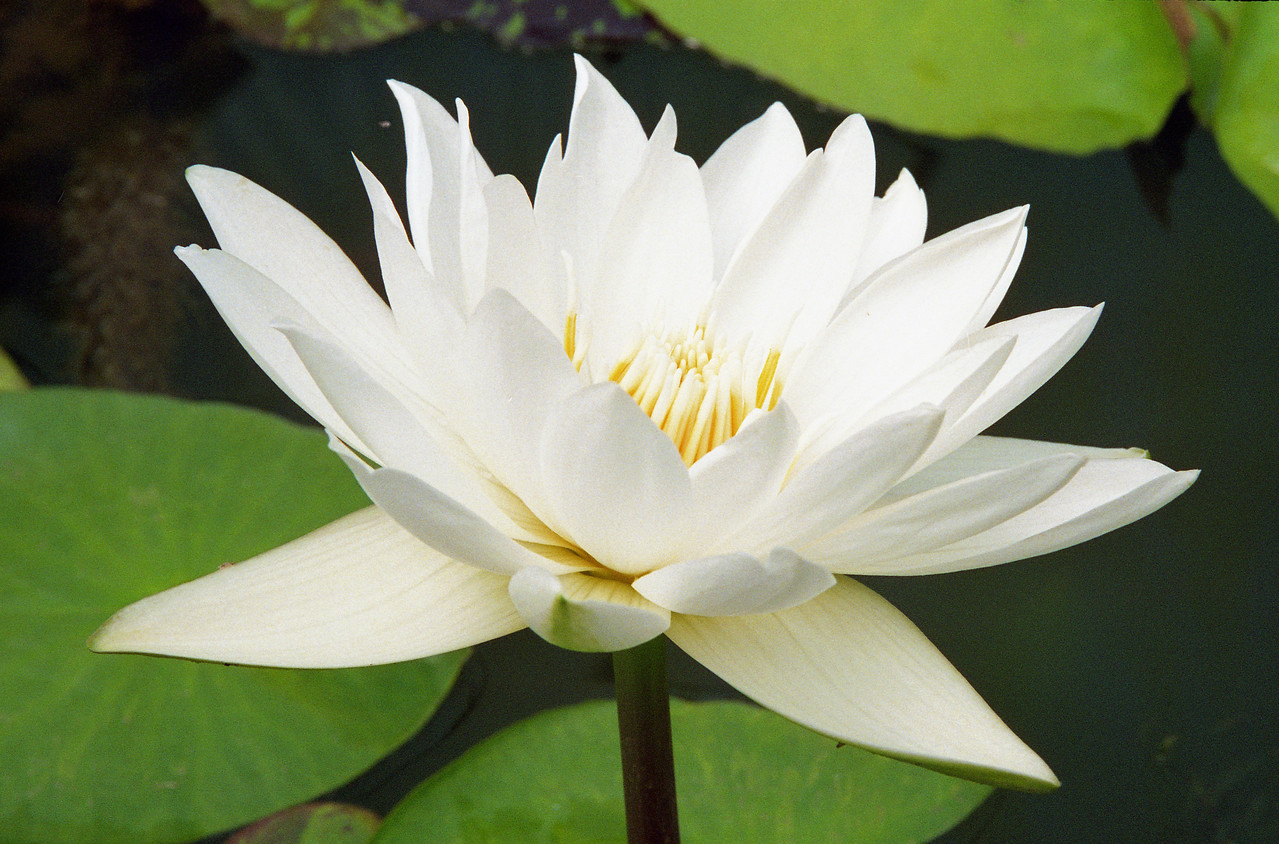 20090110_a_24 water lily