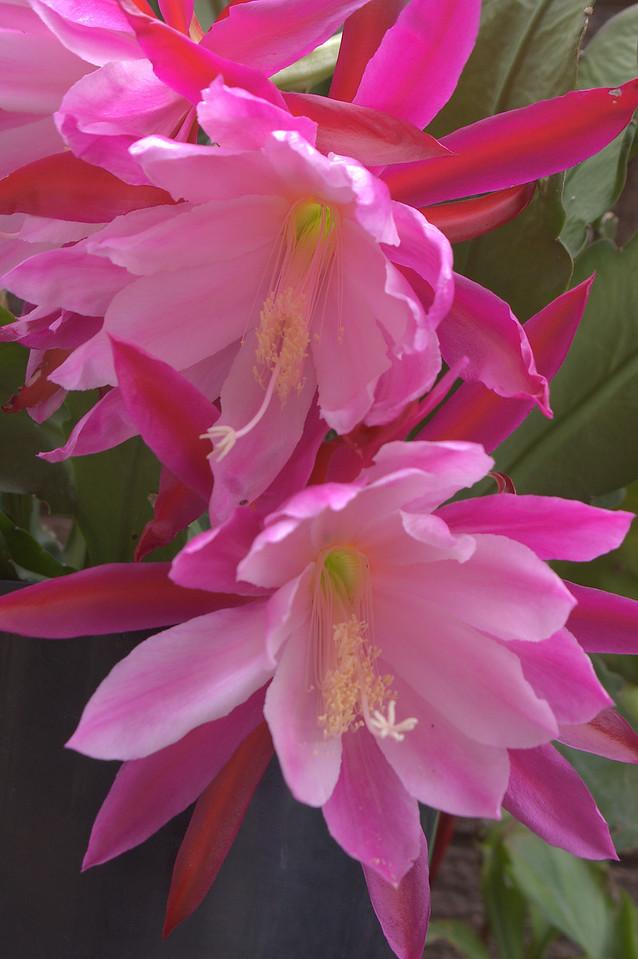 20081113_2103 epiphyllum