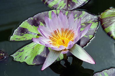 20090110_a_19 water lily from the Blue Lotus Water Gardens