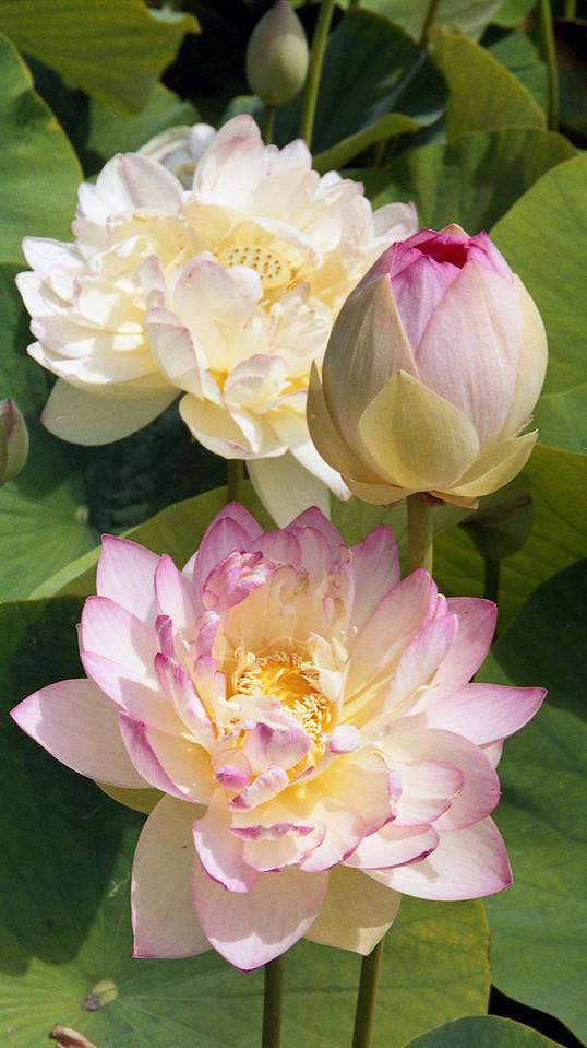 20090110_d_16 lotus