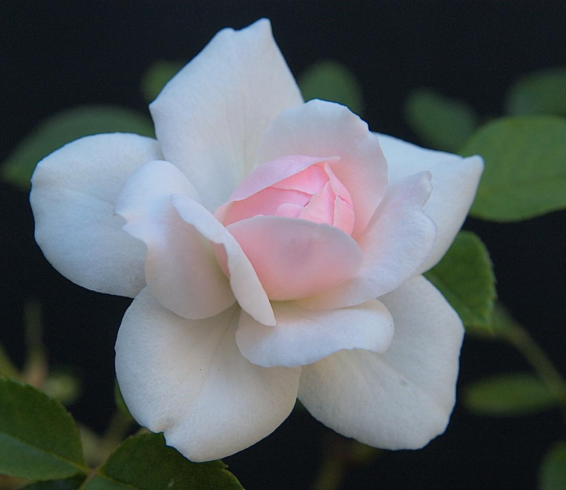 20090205_0901_2554 Japonica rose