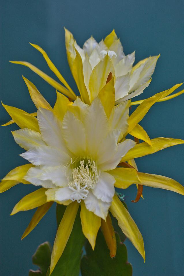 20081119_2150 epiphyllum