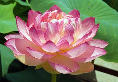 20090110_d_10 lotus