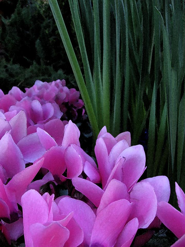 Stream of pink cyclamen.