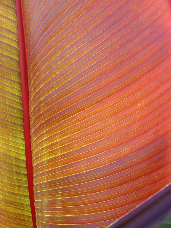 Banana leaf with the sun shining through it.