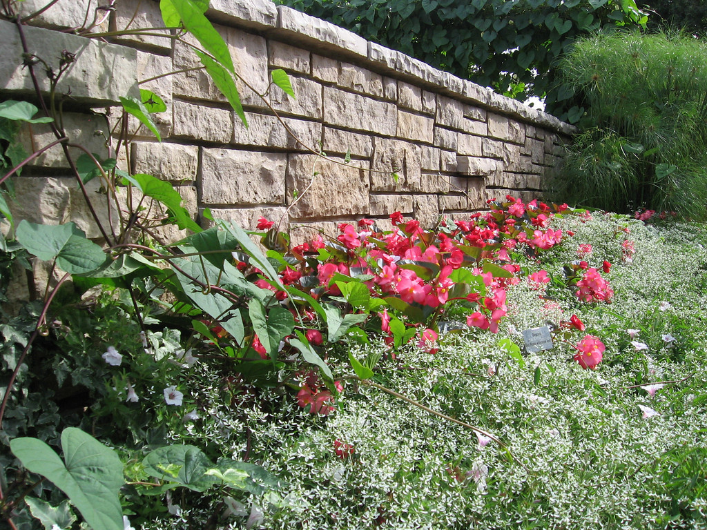 Begonias along a stone wall.