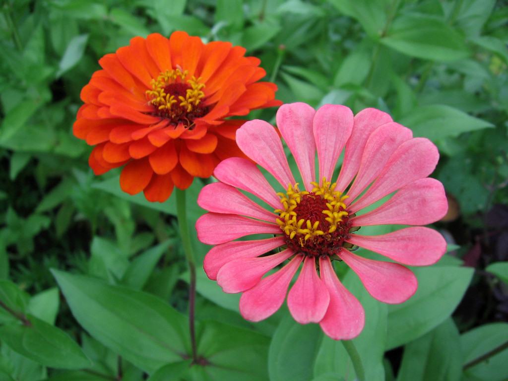 Orange and pink zinnias.