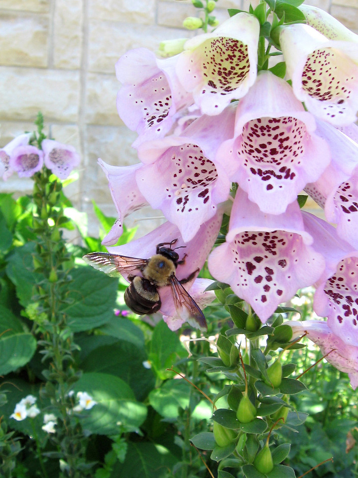 Pink foxglove with bee.