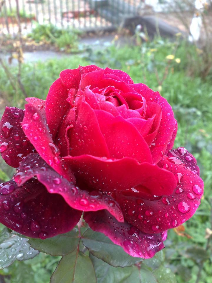 20090603_0923_463 rose