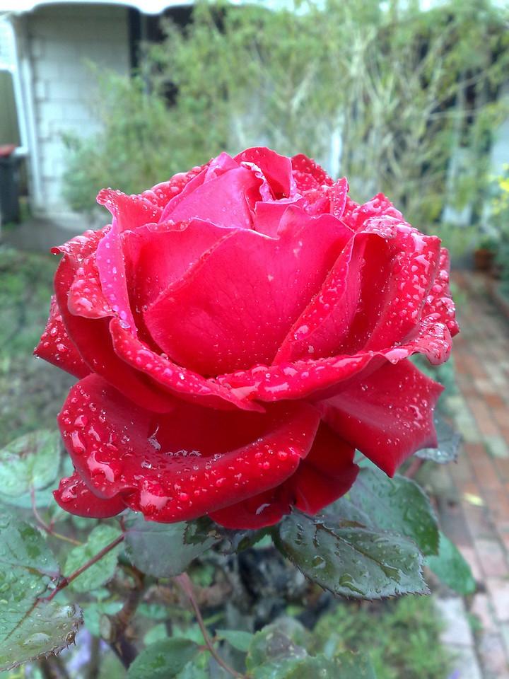 20090609_120_469 rose