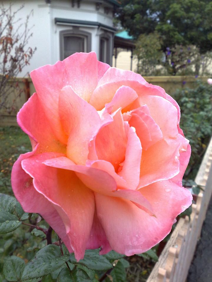 20090609_1203_472 rose