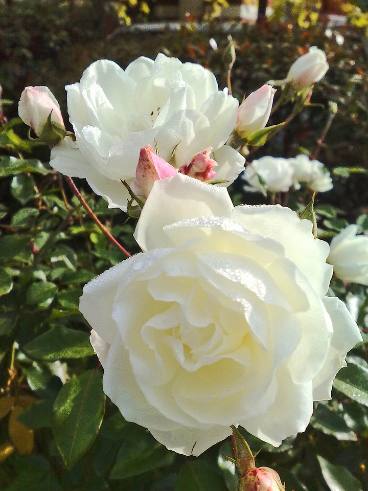 20090606_1025_468 rose