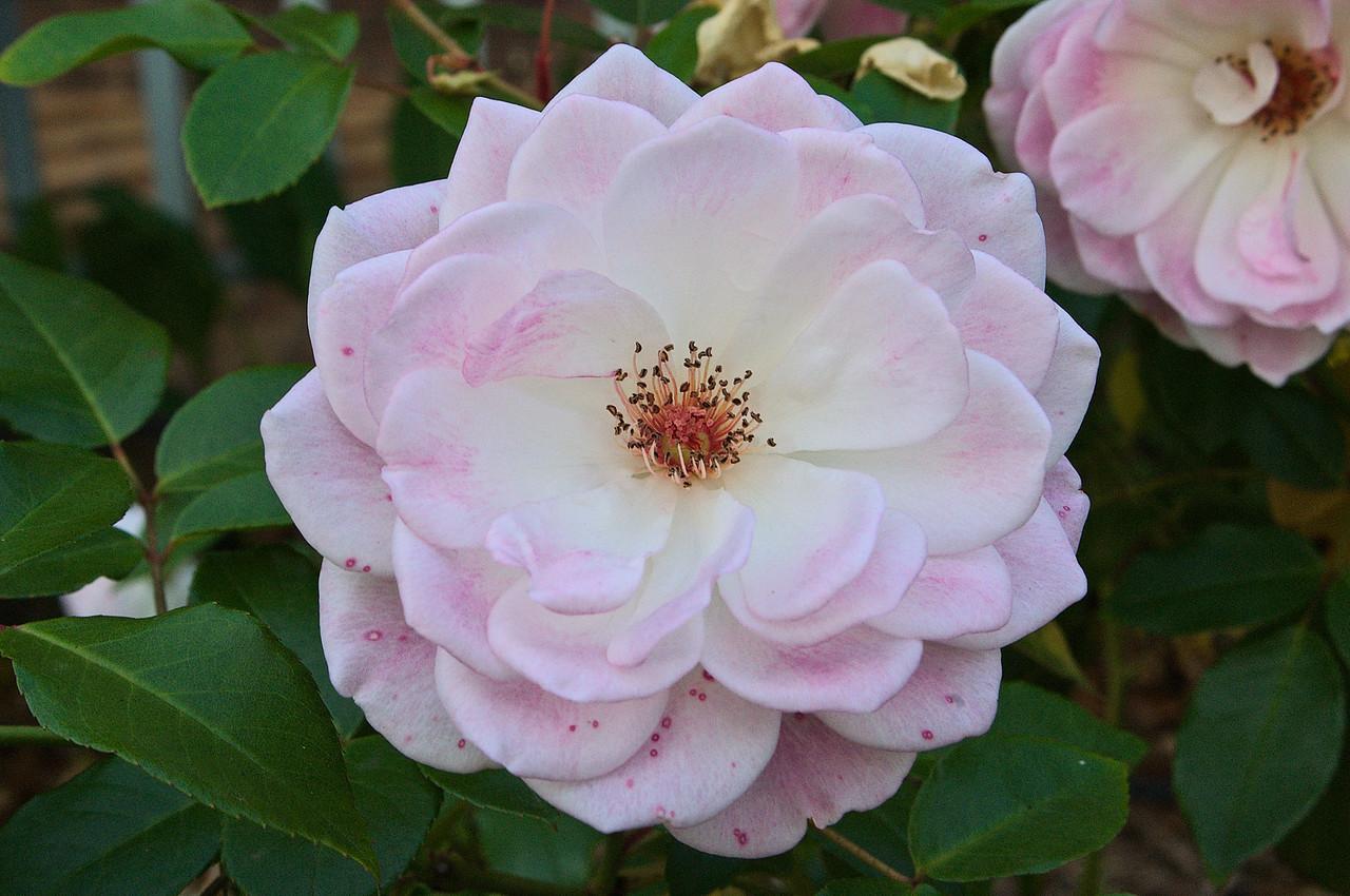 20090531_1725_2582 camellia